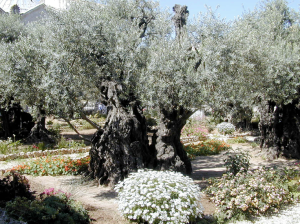 The Garden of Gethsemane, where Jesus went to pray and sweated blood before his crucifixion.